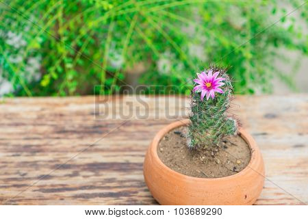 Cactus in flower pot show nature concept