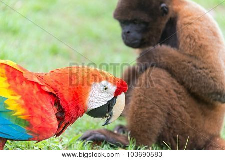 Macaw And Monkey