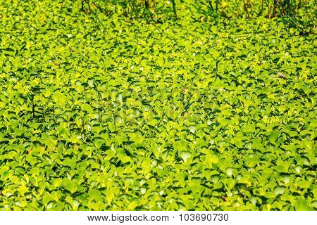Floating Plants In The Amazon