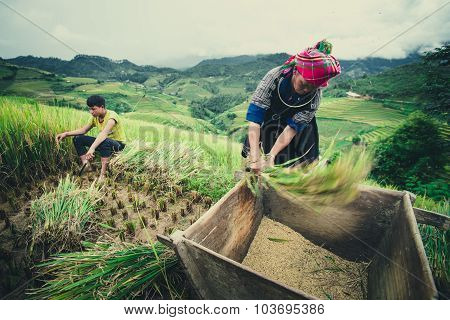 Farmers are harvesting by traditional method in terraced rice field in Mu Cang Chai