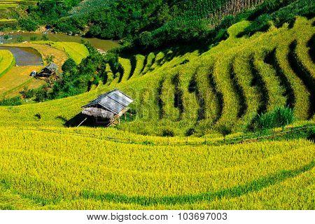 Beautiful terraced rice field in harvest season in Mu Cang Chai, Vietnam.