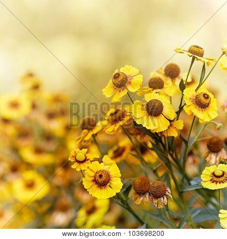 Common sneezeweed (Helenium autumnale )