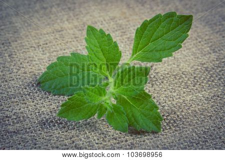 Vintage Photo, Fresh Healthy Lemon Balm On Jute Canvas, Herbalism