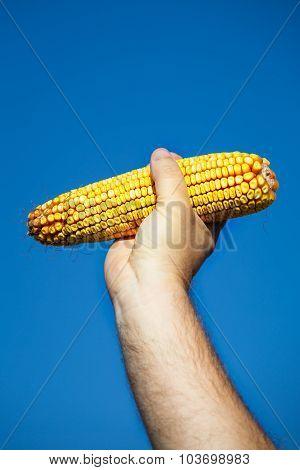 Farmer holding corn cob in hand in corn field