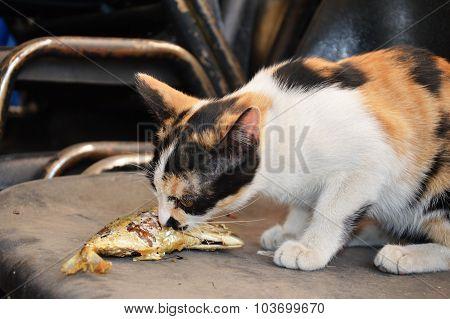 kitten eating fried mackerel