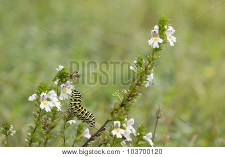 Caterpillar Of A Swallowtail Butterfly On A Eyebright Plant