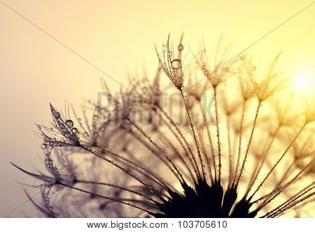 Dewy dandelion flower at sunset close up