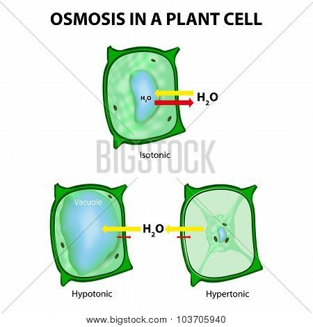 Osmosis In A Plant Cell