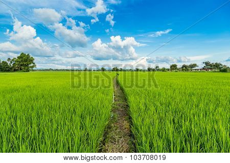 Paddy Rice And Rice Field With Blue Sky