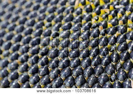 Ripe Seeds In Sunflower