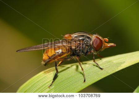 Fruit Fly On A Blade Of Grass Macro