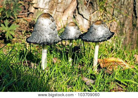 Group Of Shaggy Ink Caps (coprinus Comatus) In Front Of A Tree