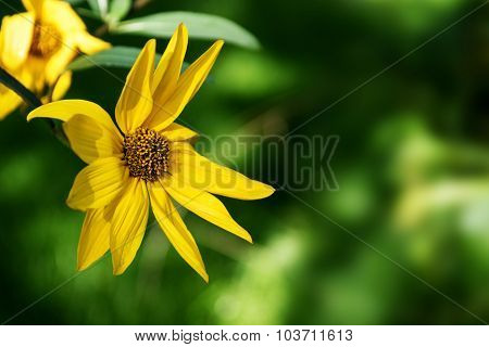 Yellow Perennial Sunflower (helianthus) Against  Blurry Green Background