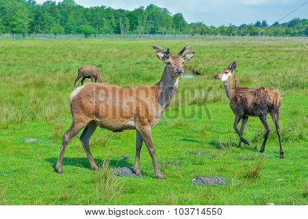 Wildlife Dear Staying In The Public Park, Denmark