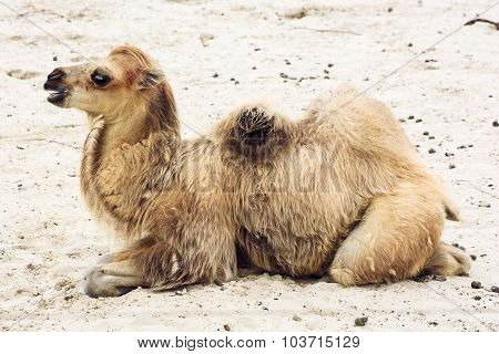 Young Bactrian Camel