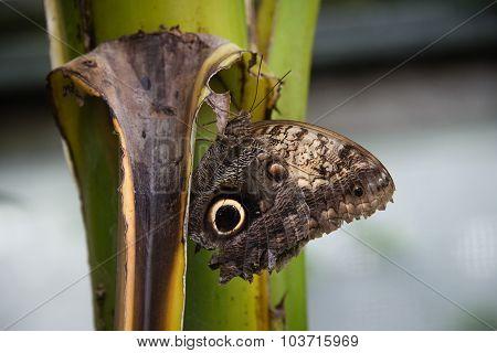 Forest Giant Owl Butterfly (caligo Eurilochus)
