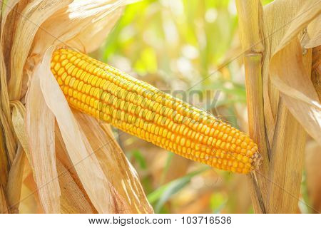 Corn Ear On Stalk