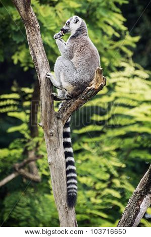 Ring-tailed Lemur Sitting On The Tree Branch And Feeding