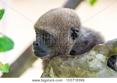 Woolly Monkey Closeup