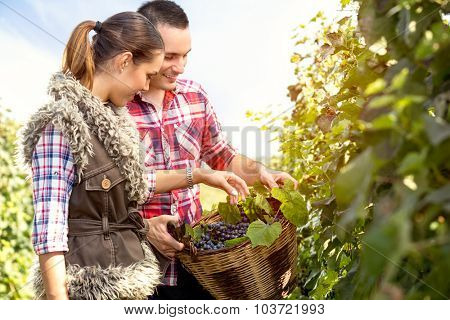 couple in vineyard with a wicker basket harvesting grapes