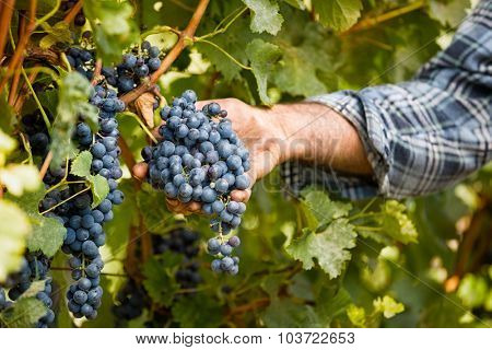 Grapes harvest in vineyard, close up