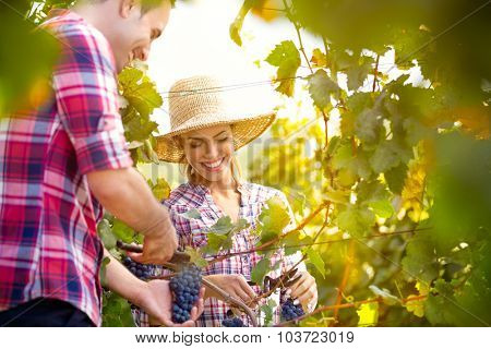 Smiling couple picking grapes in a vineyard
