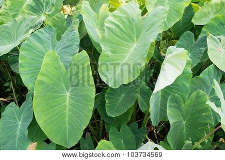 Elephant ear - Cocoyam or Dasheen or Eddoe or Japanese taro