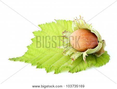 Hazelnut Closeup On White Background.