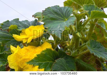 Big Yellow Flowers And Leaves