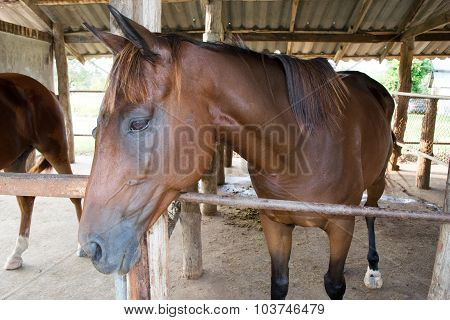 Close up Dark brown horse in Stable farm