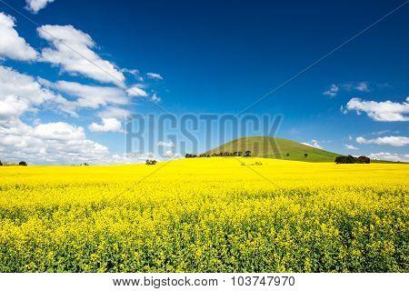 Fields of Canola in Australia