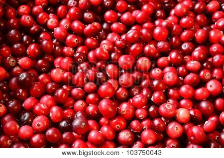 colorful red cranberries background