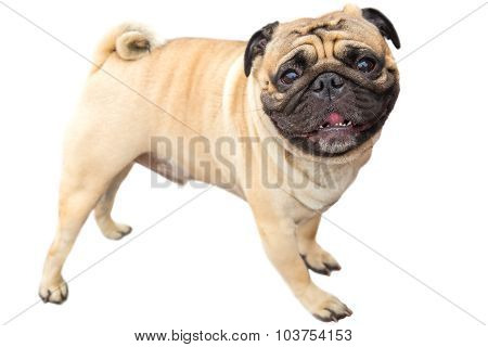 domestic dog fawn Pug breed