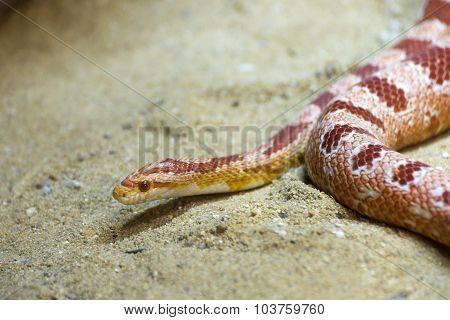 red sand snake
