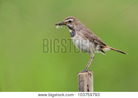 Bluethroat in the nature with a forage in a beak