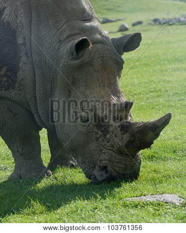 Beautiful Portrait Of The White Rhinoceros