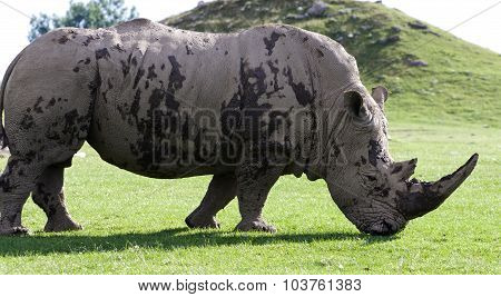 Beautiful Close-up Of The White Rhinoceros