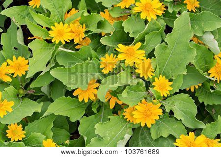 Emperor Daisy Chrysanthemum Flower Seeds
