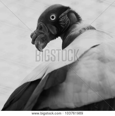 Beautiful Black And White Close-up Of The King Vulture