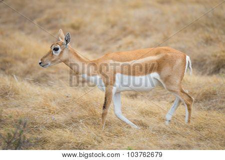 Wild Antelope Doe
