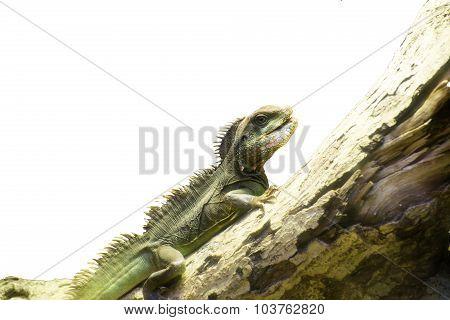 Isolate Lizard