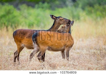 Sika Deer Licking