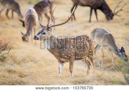 Chital Deer Buck