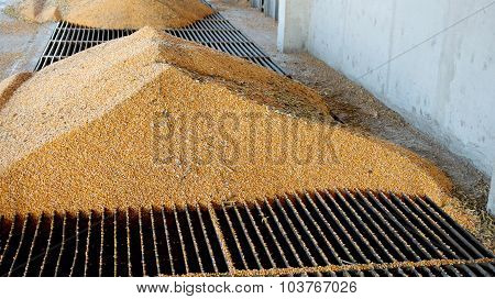 Corn Unloading Into The Grain Elevator