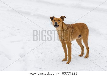 Barking mixed breed dog