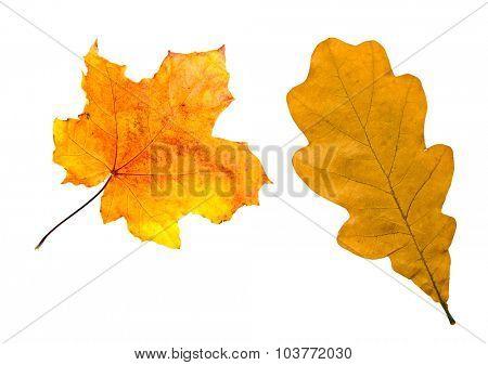 Maple and oak leaves autumn foliage isolated