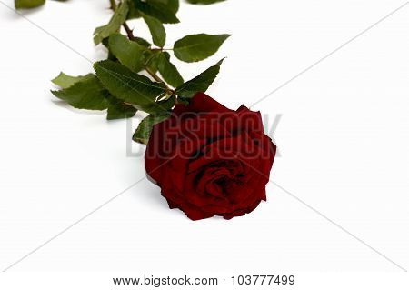One Red Rose On The White Isolated Background