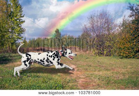 Dalmatian and rainbow