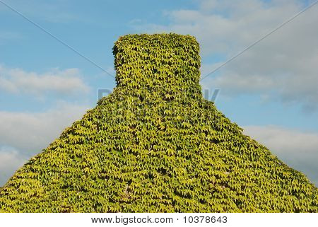 House, Completely Overgrown With Virginia Creeper