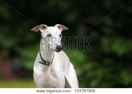 whippet dog posing outdoors